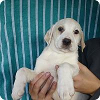 Adopt A Pet :: Landon - Oviedo, FL