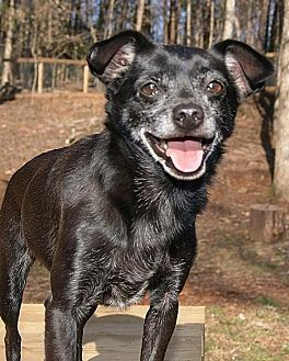 Chihuahua Mix Dog for adoption in Greenville, South Carolina - Andy