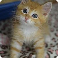 Adopt A Pet :: Tig - DFW Metroplex, TX