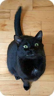 Domestic Shorthair Kitten for adoption in Huntsville, Alabama - Yin