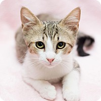 Adopt A Pet :: Bell - Fountain Hills, AZ