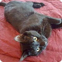 Domestic Shorthair Cat for adoption in Baltimore, Maryland - Edgar