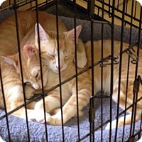 Domestic Mediumhair Kitten for adoption in Lumberton, North Carolina - Tagalong & RahRah Raisin