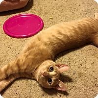 Adopt A Pet :: Rigatoni - Wichita Falls, TX