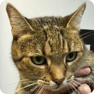 Domestic Shorthair Cat for adoption in Medford, Massachusetts - Kylie
