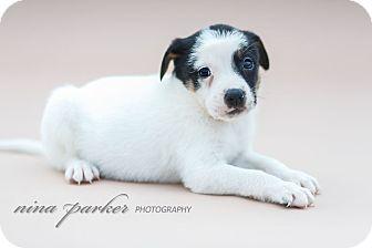 Australian Kelpie/Terrier (Unknown Type, Medium) Mix Puppy for adoption in Marietta, Georgia - Tekken