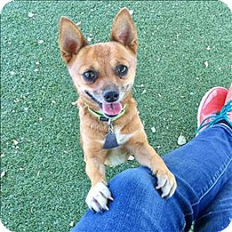 Chihuahua Mix Dog for adoption in Riverside, California - Shaun