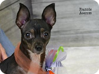Chihuahua Dog for adoption in Conroe, Texas - Frannie