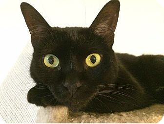 Domestic Shorthair Cat for adoption in Spring, Texas - Dharma