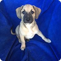 Adopt A Pet :: JJ - Studio City, CA