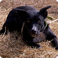 Adopt A Pet :: rosie - Allentown, PA