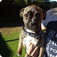 Adopt A Pet :: Champ - Thousand Oaks, CA