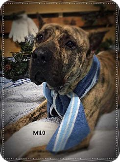 Presa Canario Mix Dog for adoption in Wenonah, New Jersey - Mylo