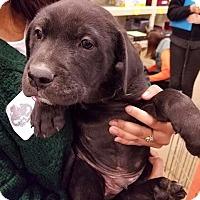 Adopt A Pet :: Pepperoni - Gainesville, FL