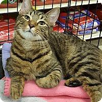 Adopt A Pet :: Bucky McBoing Boing - Hazel Park, MI
