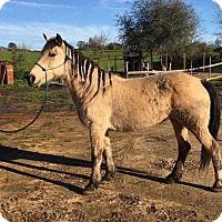Adopt A Pet :: Buckskin Betty - Newcastle, CA
