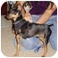 Photo 2 - Miniature Pinscher Puppy for adoption in Florissant, Missouri - Bandit
