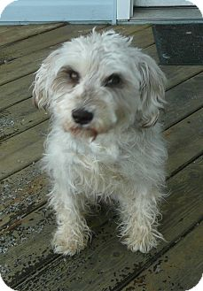 Westie, West Highland White Terrier/Schnauzer (Miniature) Mix Dog for adoption in Mt. Prospect, Illinois - Chellie