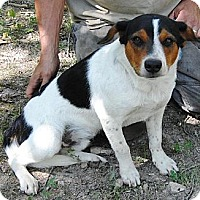 Australian Cattle Dog/Beagle Mix Dog for adoption in Dale, Indiana - Beanz