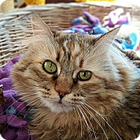 Domestic Longhair Cat for adoption in Mountain Center, California - Soul