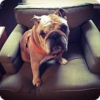 Adopt A Pet :: Gordo - Park Ridge, IL