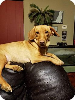 Dachshund Mix Dog for adoption in Fairmont, West Virginia - Greta