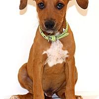 Adopt A Pet :: Brett~ meet me! - Glastonbury, CT
