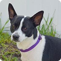 Adopt A Pet :: Indy - Loxahatchee, FL