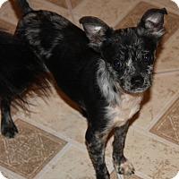 Chihuahua Mix Puppy for adoption in Gilbert, Arizona - Dax