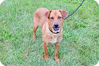Hound (Unknown Type)/Vizsla Mix Dog for adoption in Joliet, Illinois - Red