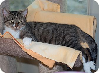 Domestic Shorthair Cat for adoption in New Martinsville, West Virginia - Pearl
