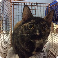 Domestic Shorthair Cat for adoption in Janesville, Wisconsin - Cappuccino