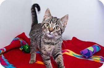 Domestic Shorthair Kitten for adoption in Seville, Ohio - Pebbles