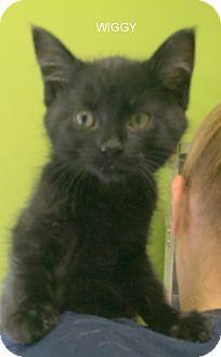 Domestic Longhair Kitten for adoption in Hibbing, Minnesota - WIGGY