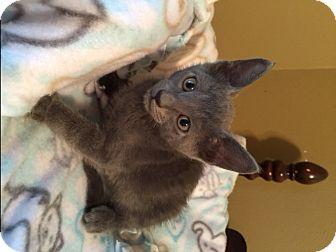 Russian Blue Kitten for adoption in San Antonio, Texas - Nickolas