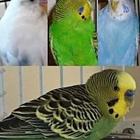 Adopt A Pet :: Shelter Parakeets - Asheville, NC