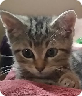 Domestic Shorthair Kitten for adoption in Palatine, Illinois - Agent H