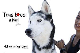 Siberian Husky Dog for adoption in Los Angeles, California - PHILLIE