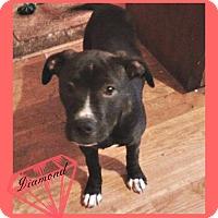 Adopt A Pet :: Diamond - Des Moines, IA