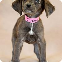 Adopt A Pet :: Cierra - Waldorf, MD