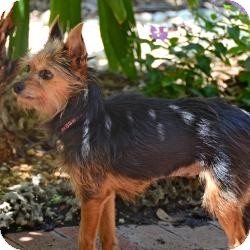 Yorkie, Yorkshire Terrier Dog for adoption in Beechgrove, Tennessee - Lila