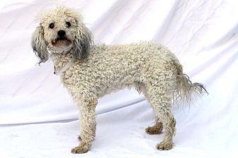 Poodle (Miniature) Mix Dog for adoption in Greensboro, North Carolina - Torey