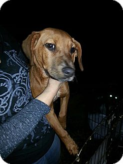 Redbone Coonhound/Basset Hound Mix Puppy for adoption in East Rockaway, New York - Dandy