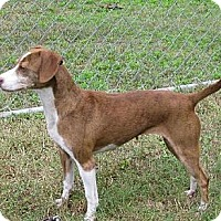 Adopt A Pet :: Sasha - Manning, SC