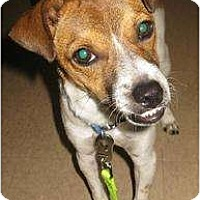 Jack Russell Terrier/Pug Mix Dog for adoption in Sunset, Louisiana - Gizmo