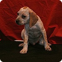 Adopt A Pet :: Beefy's pups - East Sparta, OH