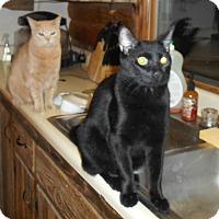 Domestic Shorthair Cat for adoption in Parkton, North Carolina - Zac