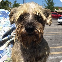 Adopt A Pet :: Sadie - St. Petersburg, FL