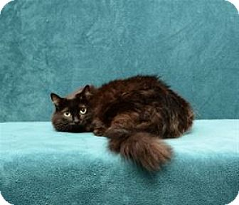 Maine Coon Cat for adoption in Cary, North Carolina - Jingle Belle