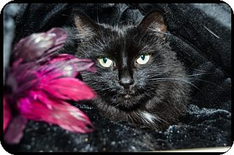 Domestic Longhair Cat for adoption in Brick, New Jersey - Sparkles